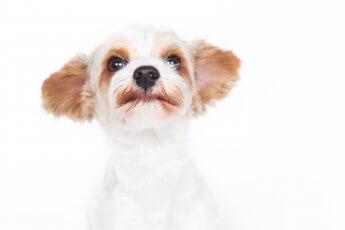 Helles Fotostudio, in dem ein weiß-brauner Terrier als Porträt fotografiert wird