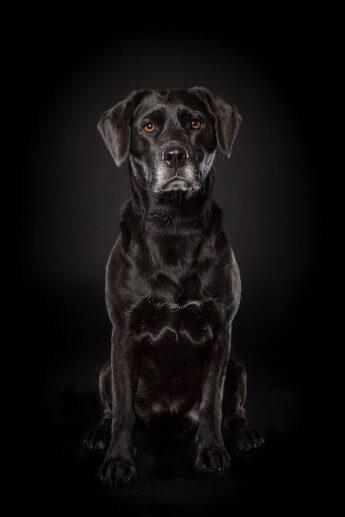 Schwarzer Dalmatiner im Fotostudio mit schwarzem Hintergrund