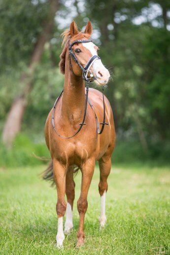 Pferd mit Geschirr auf grüner Wiese