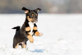 Junger Hund spielt im Schnee