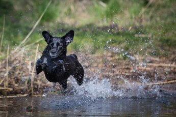 Mit kurzer Verschlusszeit fotografiert: schwarzer Hund beim Sprung ins Wasser