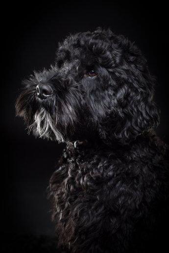 Portrait eines schwarzen Bobtails vor schwarzem Hintergrund