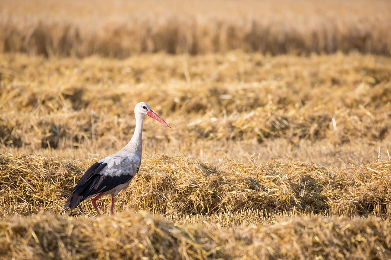 Tierfotografie – Storch auf geerntetem Feld