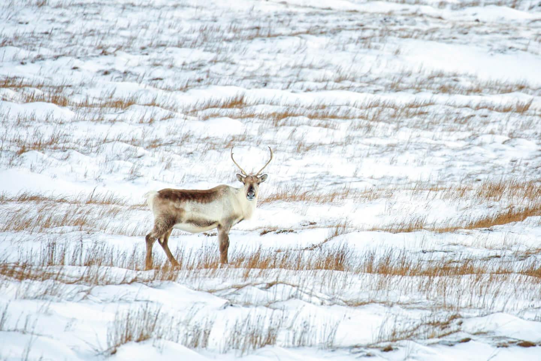 Rentiere sind im Bereich rund um das Vestrahorn kein seltener Anblick