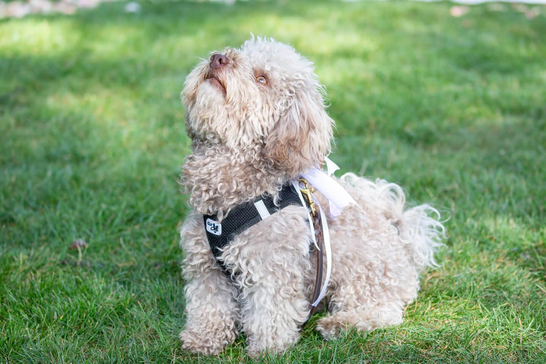 Hund mit Trauringen blickt nach oben