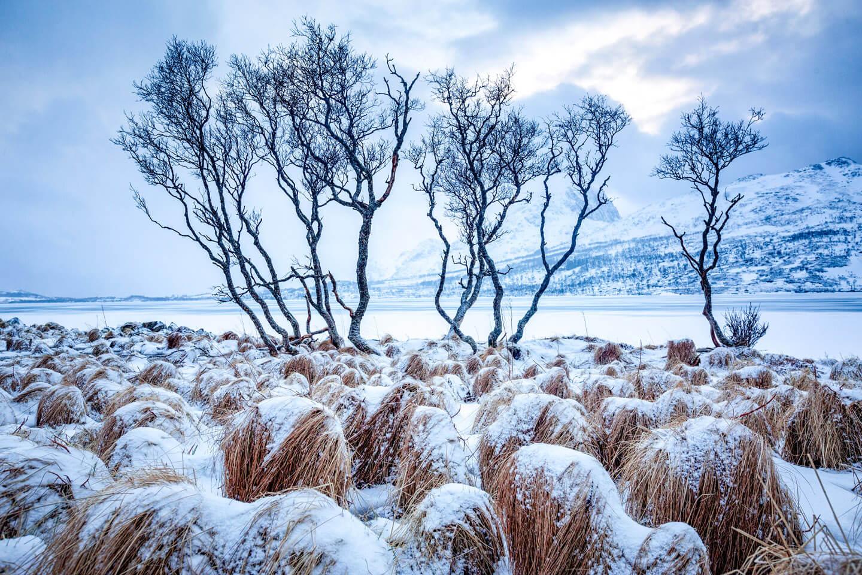 Knochige Bäume auf den Lofoten