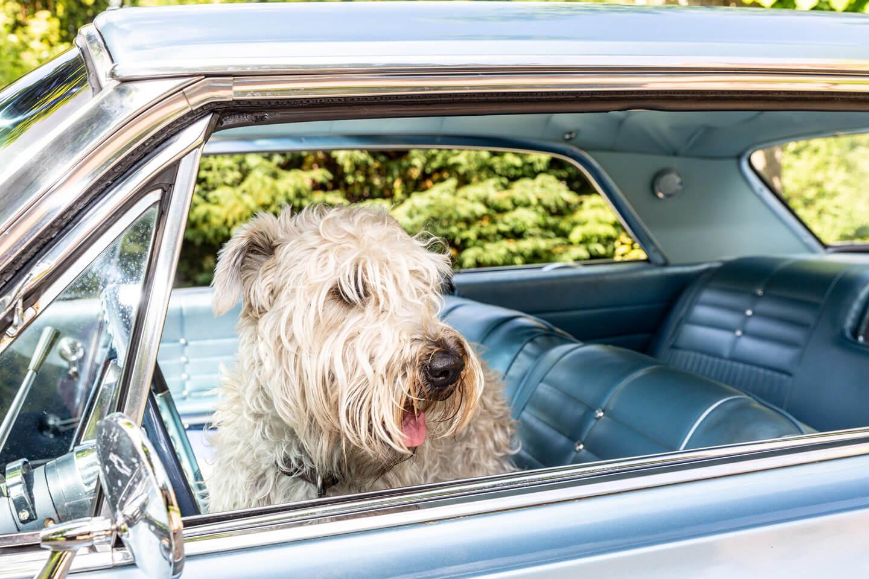 Hund im 1964er Chevrolet Impala