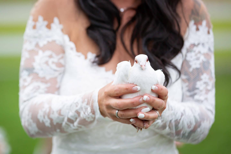Weiße Taube in den Händen der Braut